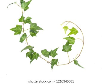 Fresh ivy leaves isolated on white background