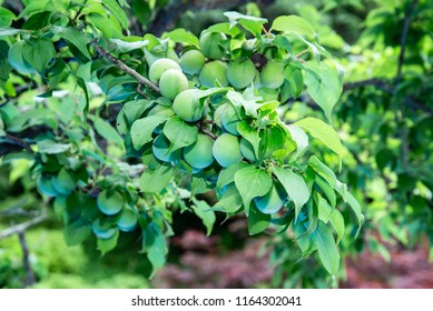 fresh Japanese plum fruits on the tree