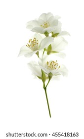 Fresh jasmine branch on white background