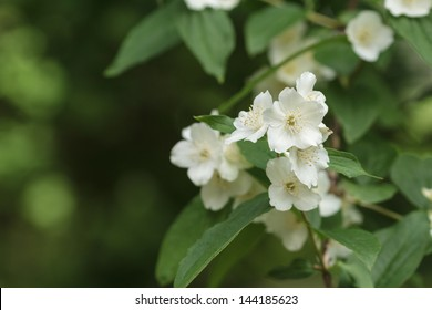 fresh jasmine flowers close up, defocused background