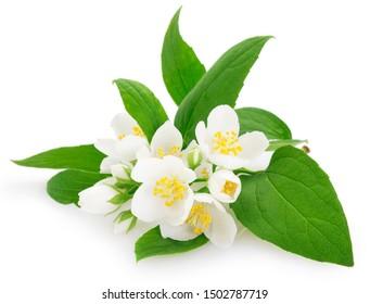 fresh jasmine isolated on white background closeup