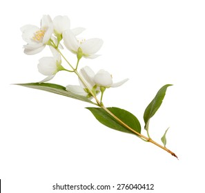 Fresh Jasmine spring branch isolated on white