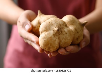 Fresh jicama or yam bean holding by hand. Jicama can be eaten raw or cooked, The taste are crisp, juicy, moist, and slightly sweet