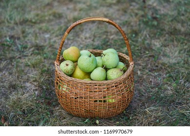 Fresh and juicy green and yellow organic pears in old wickerwork basket just after picked up from the orchard or home garden on the grass in the cold autumn day.