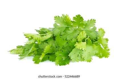Fresh juicy organic bundle of cilantro, isolated on white background