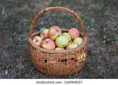 Fresh and juicy red and green organic apples in old wickerwork basket just after picked up from the orchard or home garden on the grass in the cold autumn day.