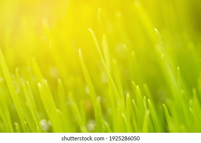 Fresh and juicy spring grass with drops of dew and brushed by the morning sun.