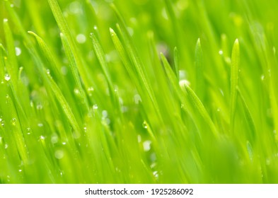 Fresh and juicy spring grass with drops of dew.