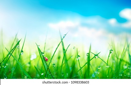 Fresh juicy young grass in droplets of morning dew and a ladybug in summer spring against blue sky on nature macro. Drops of water on the grass, natural wallpaper, soft focus, copy space.