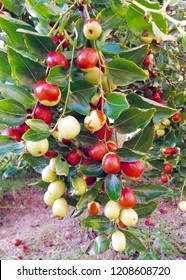 Fresh jujube fruit on branch with leaves. common jujube, unabi
