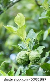 Fresh Kaffir Lime (Bergamot) with water drop in garden