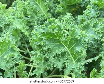 Fresh Kale.