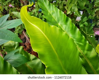 Fresh Large Green Leaf at the Garden