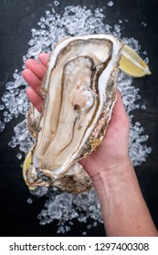 Fresh large rock oyster offered in a woman hand as closeup opened with sliced lemon on crushed ice with copy space