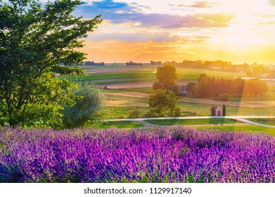 Fresh lavender field at sunset
