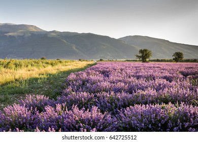 Fresh lavender fields sunlit in the morning