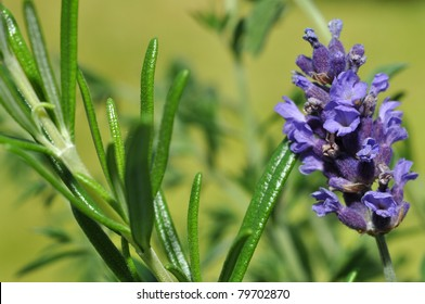Fresh lavender and rosemary in the herb garden