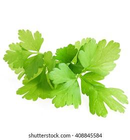 Fresh leaf parsley