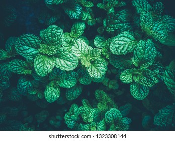 Fresh green leaf pepermint and spearmint.Concept leave mint herb use aroma therapy. mint plant grow background.selective focus