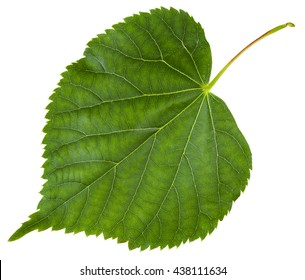 fresh leaf of Tilia cordata tree (small-leaved lime, little leaf linden, small-leaved linden) isolated on white background