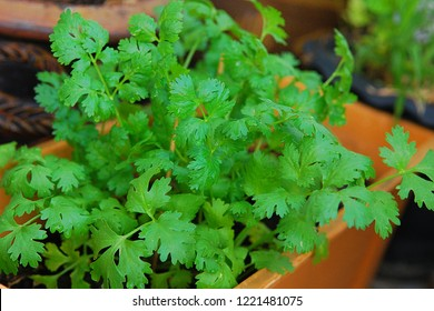 Fresh leaves coriander (also known as cilantro or Chinese parsley) plant in the pot with water drops.