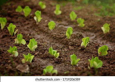 Fresh leaves of green lettuce salad growing in soil in garden. Fresh green lettuce growing in vegetable garden. Home organic gardening in Cyprus