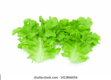 Fresh leaves green oak lettuce isolated on white background  eat for diet  good healthy  nutrition hydroponic vegetable close-up and soft focus