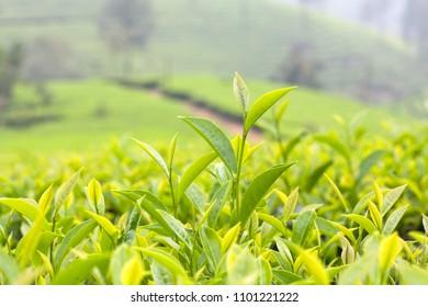 Fresh leaves of green tea close up at plantations in Munnar, Kerala, South India