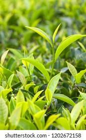 Fresh leaves of green tea tree close up at plantation in Kerala, South India