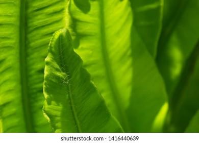 Fresh leaves of a hart's tongue fern. Close-up. Asplenium scolopendrium.
