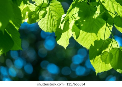 Fresh leaves of linden closeup in sunlight