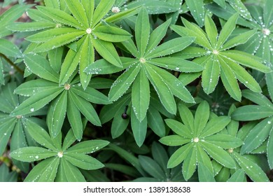 fresh leaves of Lupinus (or Lupin, or Lupine)