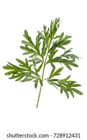 Fresh leaves on a branch artemisia absinthium (absinthe wormwood). Common wormwood onwhite