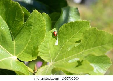 fresh leaves on the fig tree, Costa Blanca, Spain