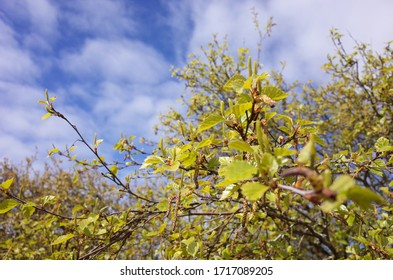 Fresh leaves on a tree Selective focus Spring background with copy space