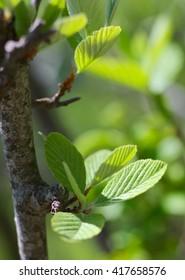 fresh leaves on tree in spring