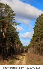 Fresh leaves in pine forest during springtime.