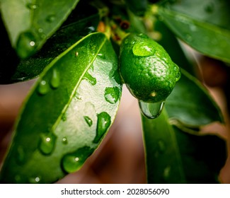Fresh lemon fruit with leaves after rain, selective focus photo of citrus fruit with water drops