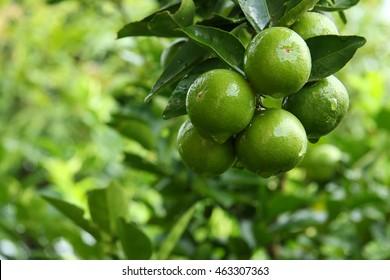 fresh lemon green
