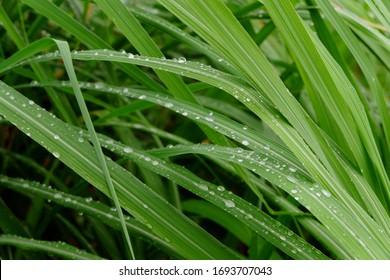 Fresh lemongrass or lemongrass leaves (Cymbopogon citratus), in the garden