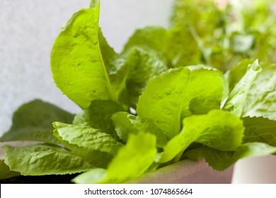 Fresh lettuce close up macro shot
