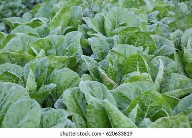 Fresh lettuce in the field.