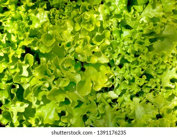 Fresh lettuce at a French farmers market