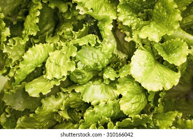 fresh lettuce leaves after rain