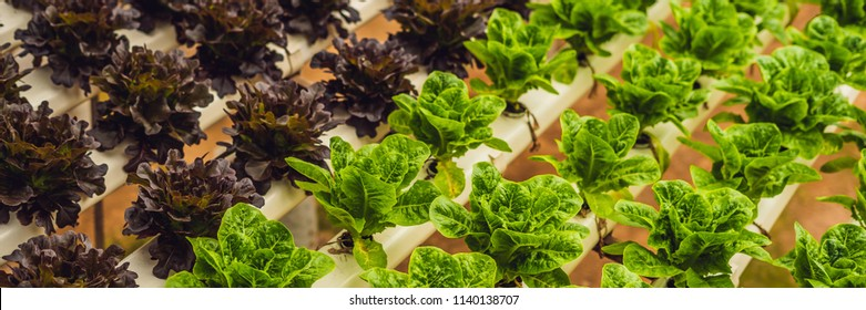 Fresh lettuce leaves, close up.,Butterhead Lettuce salad plant, hydroponic vegetable leaves. Organic food ,agriculture and hydroponic conccept. BANNER long format