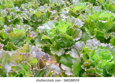 fresh lettuce plant on the field