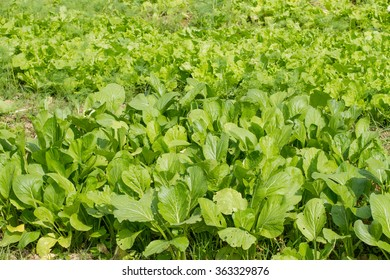 fresh lettuce plants on a fertile field, ready to be harvested