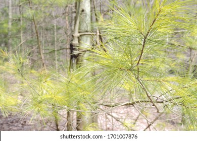 Fresh light green Eastern white pine leaves on a background of woods