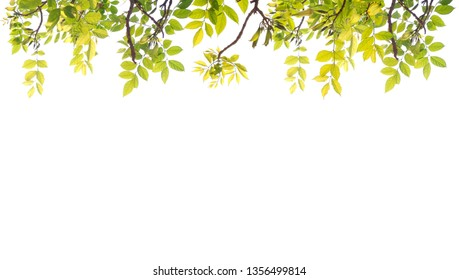 fresh light green leave isolated on white background with copy space and clipping path for spring summer concept.