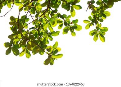 Fresh light green leaves on white background for spring summer natural concept design.